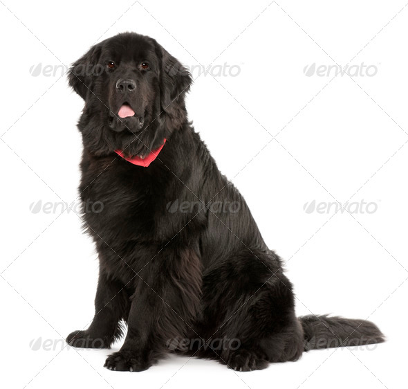 Newfoundland dog, 10 months old, in front of white background, studio shot - Stock Photo - Images