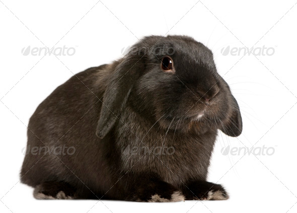 Lop rabbit, 18 months old, in front of white background, studio shot - Stock Photo - Images