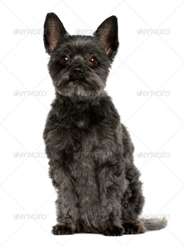 Crossbreed dog, 9 years old, sitting in front of white background - Stock Photo - Images