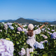 Young woman traveler enjoying with blooming hydrangeas in Dalat, Vietnam, Travel lifestyle concept - PhotoDune Item for Sale