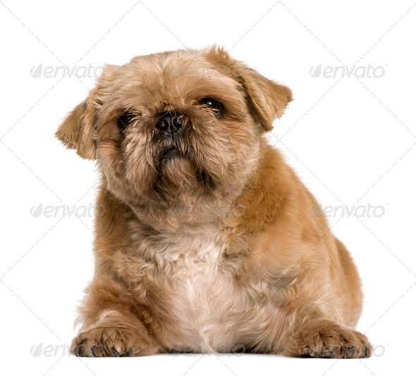 Crossbreed between a Pug and a Shih Tzu, 4 years old, sitting in front of white background - Stock Photo - Images