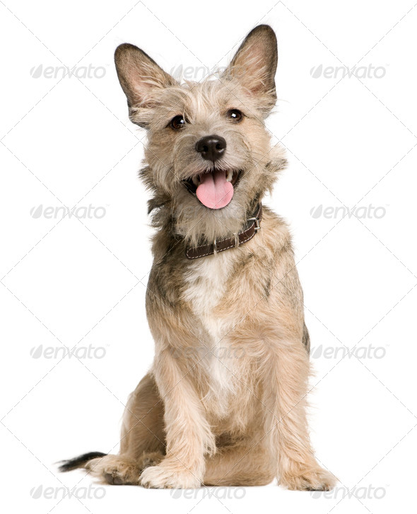 Crossbreed with a Jack Russell Terrier, 7 months old, sitting in front of white background - Stock Photo - Images