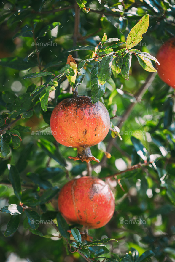 Ripe Pomegranates Hanging On Branch In Autumn Season - Stock Photo - Images