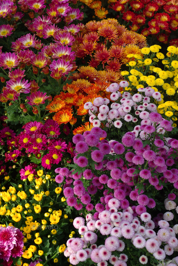 Colorful flowers in the garden - Stock Photo - Images