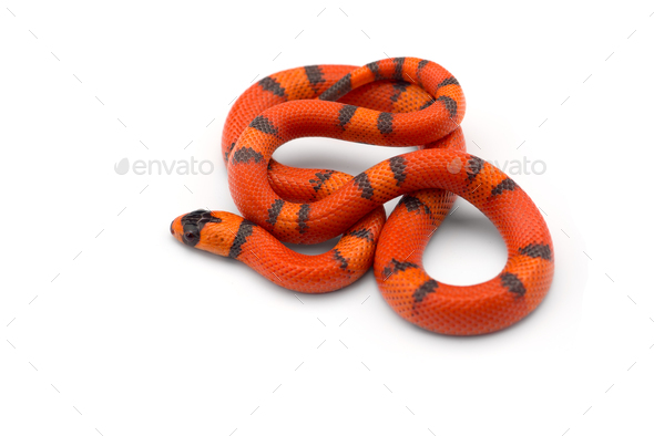 Red-black Milk snake isolated on white background - Stock Photo - Images