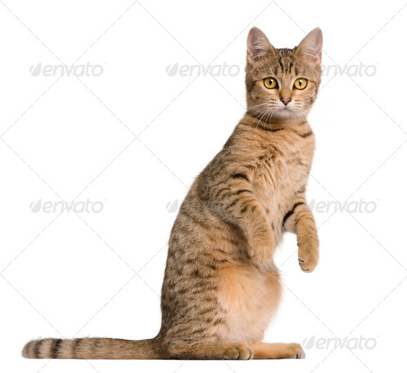 Young Bengal cat, 7 months old, standing in front of white background - Stock Photo - Images