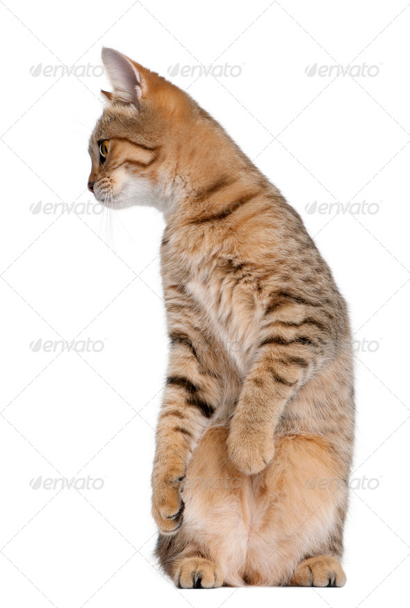 Young Bengal cat, 7 months old, standing in front of white background, studio shot - Stock Photo - Images