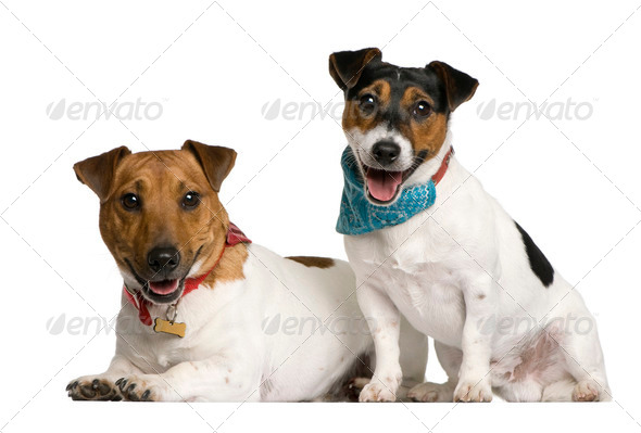Two Jack Russell Terriers sitting in front of white background, studio shot - Stock Photo - Images