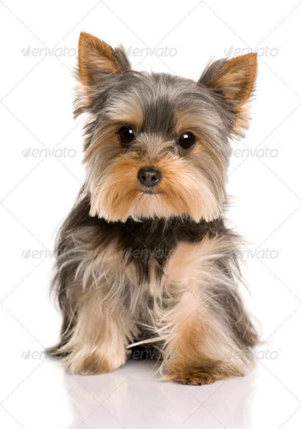 Yorkshire Terrier puppy, 7 months old, sitting in front of white background - Stock Photo - Images