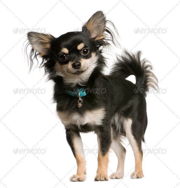 Chihuahua dog, 9 months old, standing in front of white background, studio shot - Stock Photo - Images