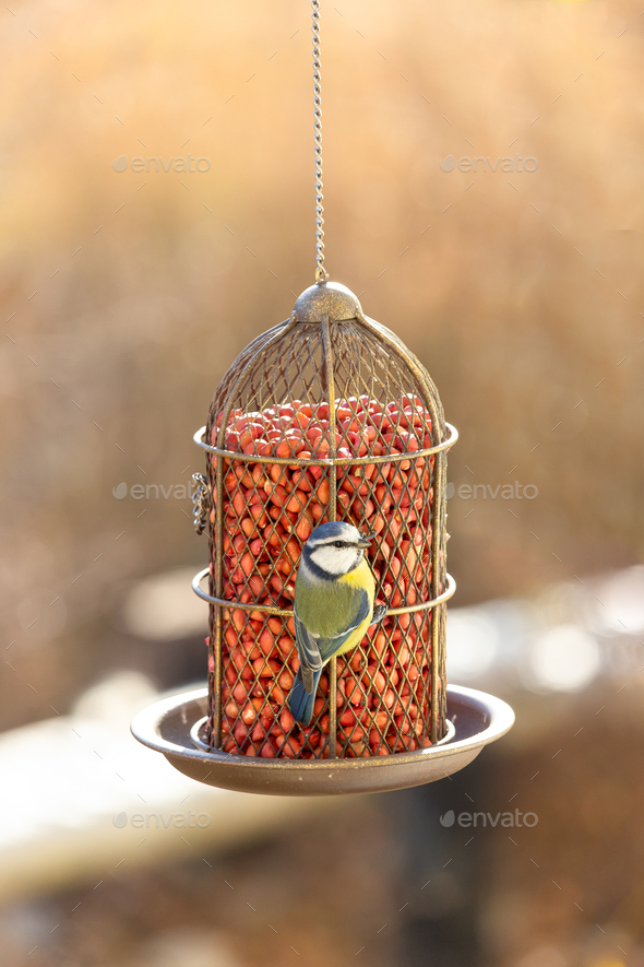 Blue tit eat food from the feeder. - Stock Photo - Images