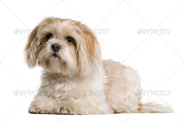 Shih Tzu, 1 year old, sitting in front of white background, studio shot - Stock Photo - Images