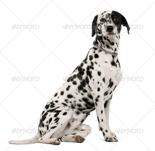 Dalmatian dog, 18 months old, sitting in front of white background, studio shot - Stock Photo - Images