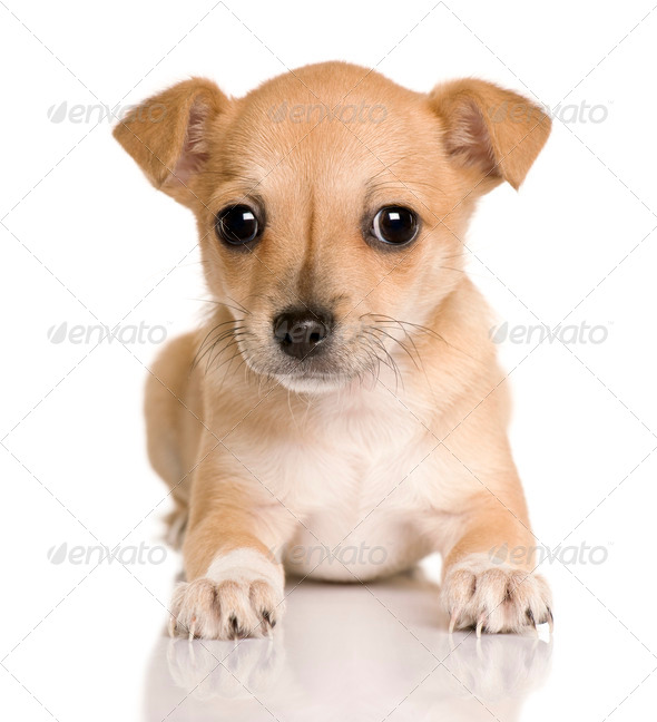 Chihuahua puppy, 4 months old, sitting in front of white background, studio shot - Stock Photo - Images