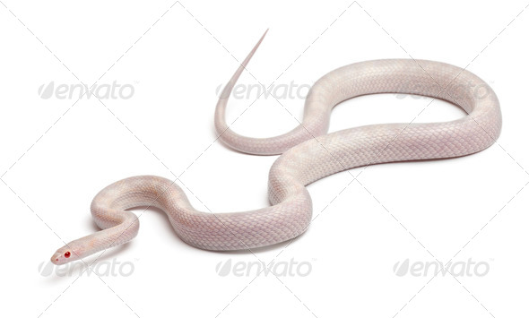 Opale Corn Snake or Red Rat Snake, Pantherophis guttatus, in front of white background - Stock Photo - Images