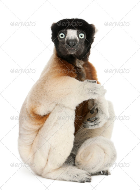 Crowned Sifaka, Propithecus coronatus, 14 years old, sitting in front of white background - Stock Photo - Images