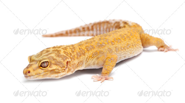 Aptor Leopard gecko, Eublepharis macularius, in front of white background - Stock Photo - Images