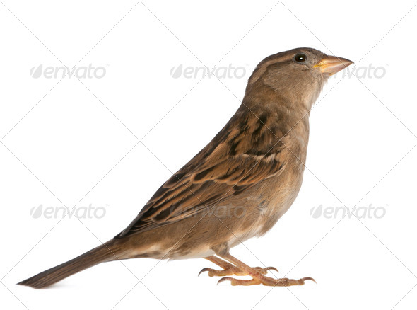 female House Sparrow - Stock Photo - Images