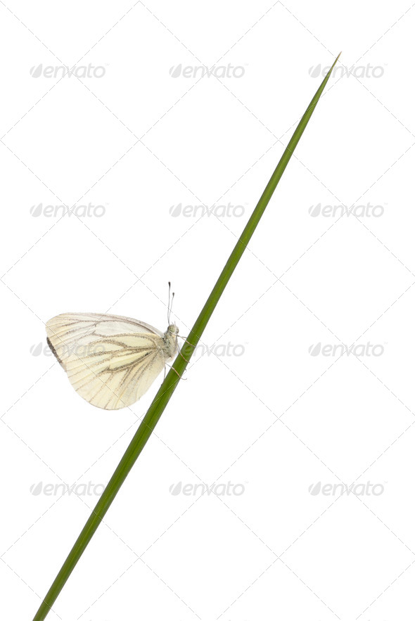 Green-veined White, Pieris napi, on grass in front of white background - Stock Photo - Images