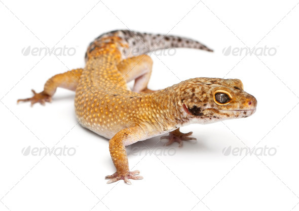 Hypomelanistic Leopard gecko, Eublepharis macularius, in front of white background - Stock Photo - Images
