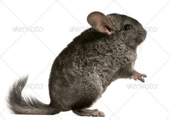 Chinchilla, 18 months old, sitting in front of white background - Stock Photo - Images