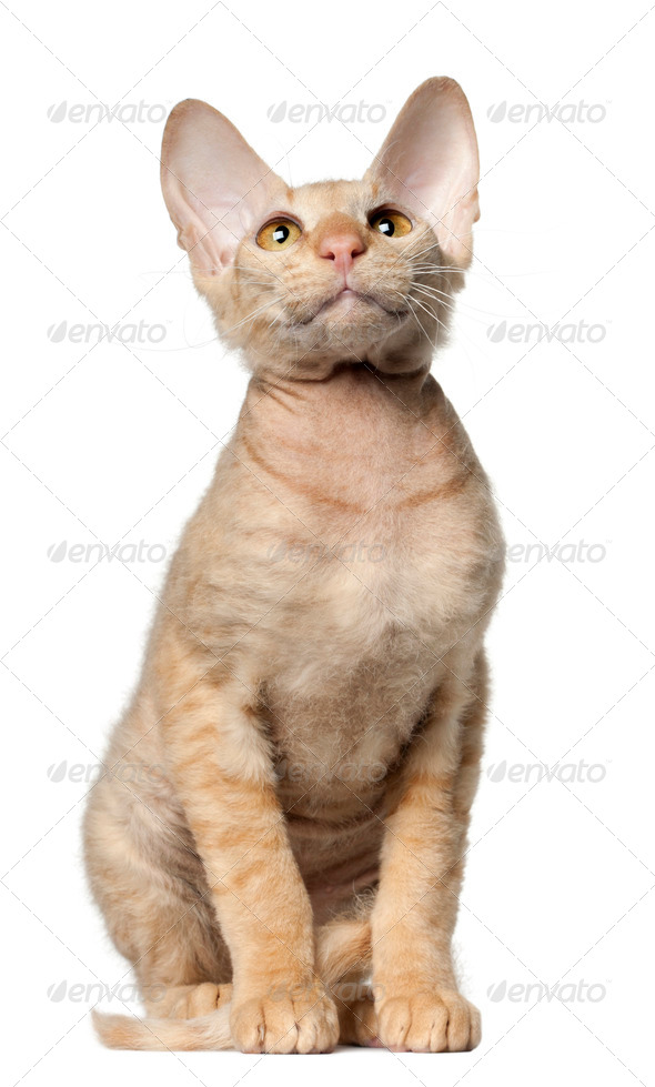 Peterbald cat, in front of white background - Stock Photo - Images