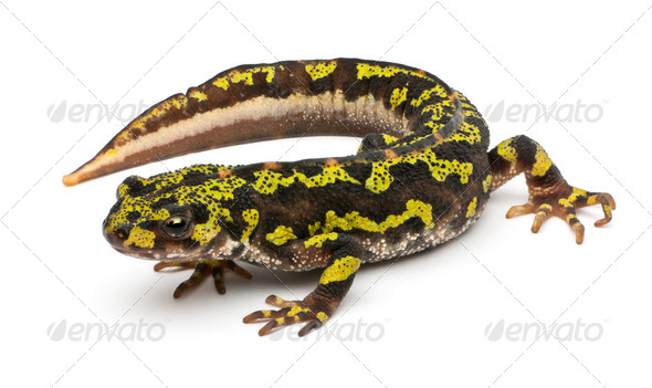 Marbled Newt - Triturus marmoratus - Stock Photo - Images