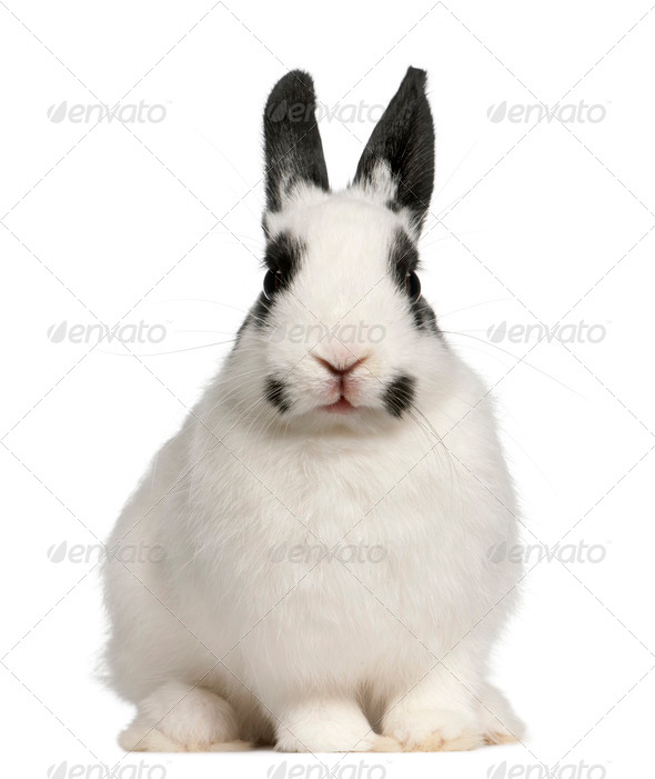 Dalmatian rabbit, 2 months old, Oryctolagus cuniculus, sitting in front of white background - Stock Photo - Images