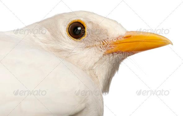 White Common Blackbird - Turdus merula - Stock Photo - Images