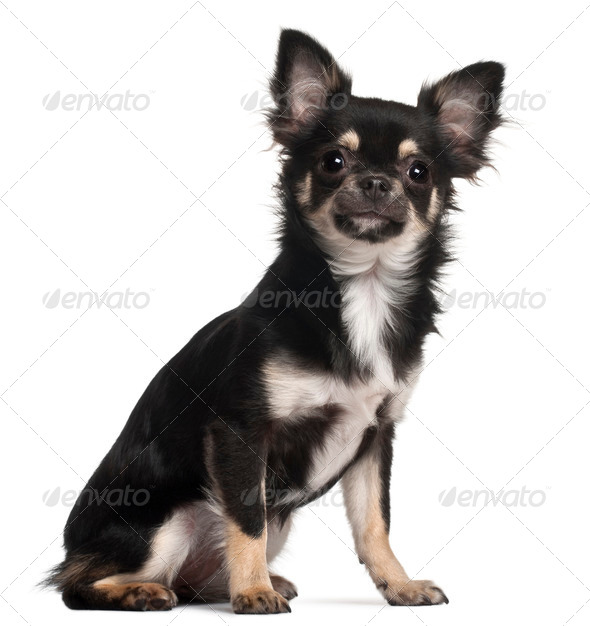 Chihuahua sitting in front of white background - Stock Photo - Images