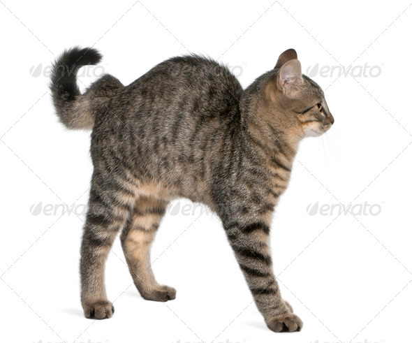 Mixed-breed cat, Felis catus, 6 months old, standing in front of white background - Stock Photo - Images