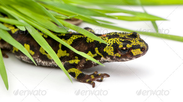 Marbled Newt hiding under blades of grass - Triturus marmoratus - Stock Photo - Images