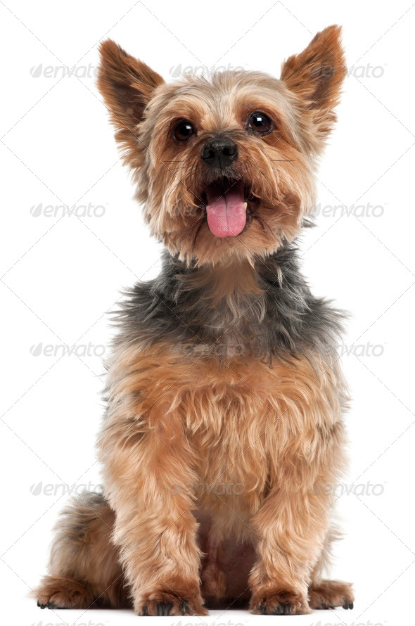 Yorkshire Terrier, 14 and a half years old, sitting in front of white background - Stock Photo - Images