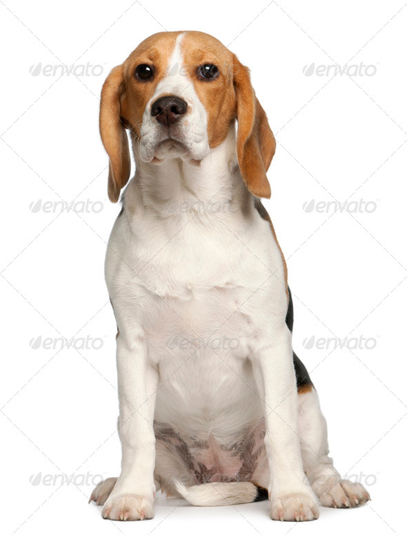 Beagle puppy, 6 months old, sitting in front of white background - Stock Photo - Images