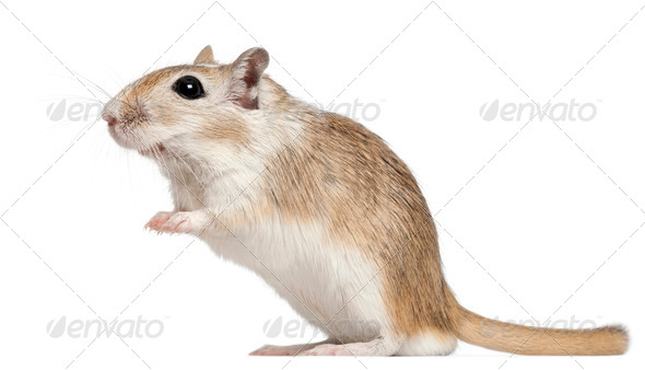 Gerbil, 2 months old, in front of white background - Stock Photo - Images