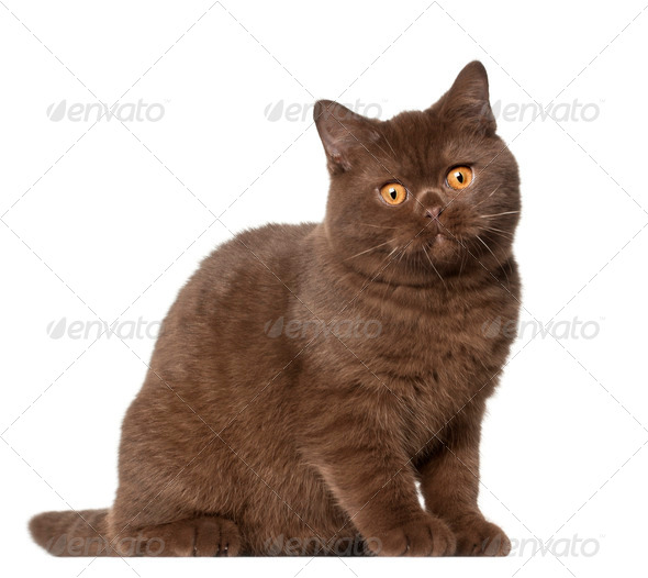 British shorthair cat, kitten, 4 months old, sitting in front of white background - Stock Photo - Images
