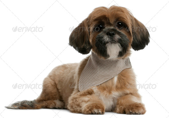 Lhassa Apso, 1 year old, lying in front of white background - Stock Photo - Images