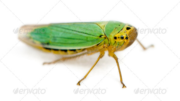 Green Leafhoppers - Cicadella viridis - Stock Photo - Images