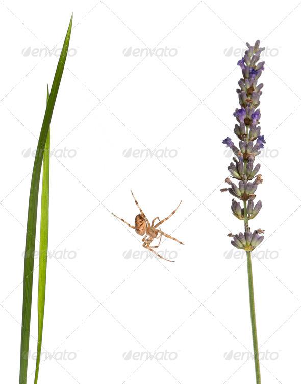 European garden spider, Araneus diadematus, on grass stems in front of white background - Stock Photo - Images