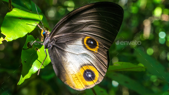 Close- up view of a beautiful Butterfly, Gam Island, Raja Ampat, Indonesia, West Papua - Stock Photo - Images