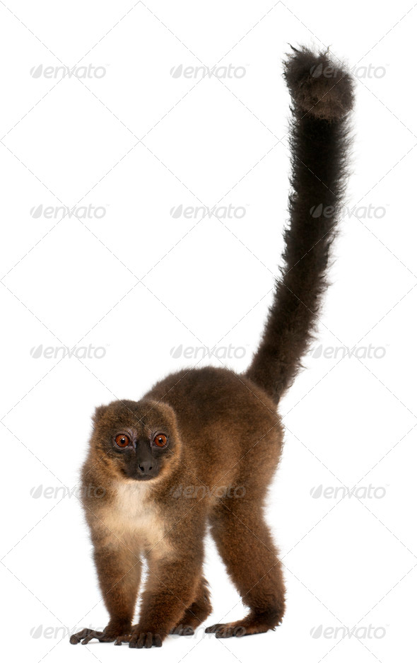 Red-bellied Lemu, Eulemur rubriventer, 21 years old, in front of white background - Stock Photo - Images