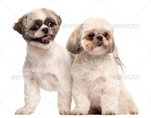 Shih Tzus, 3 years old, in front of white background - Stock Photo - Images