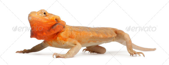 Central Bearded Dragon, Pogona vitticeps, in front of white background - Stock Photo - Images