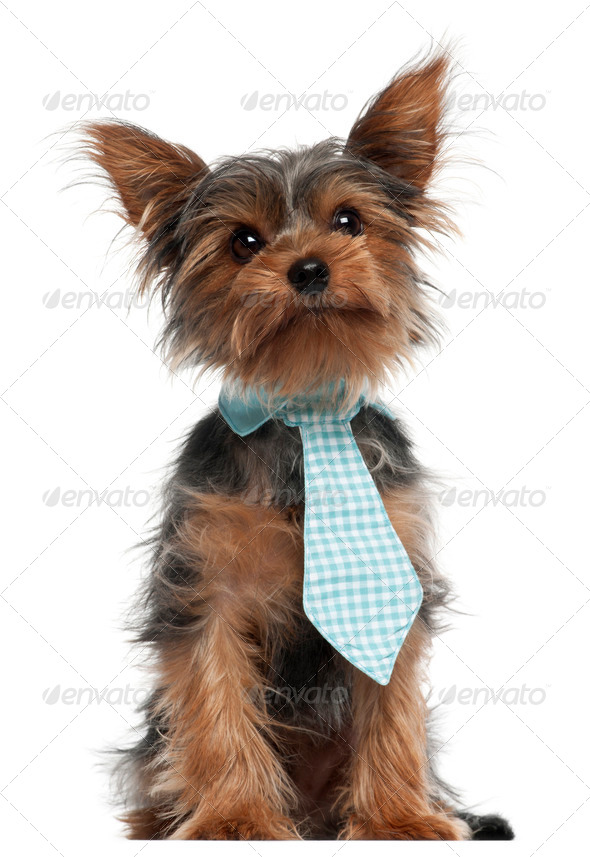 Yorkshire Terrier wearing tie, 7 months old, in front of white background - Stock Photo - Images