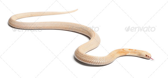 Albinos monocled cobra  - Naja kaouthia (poisonous), white background - Stock Photo - Images