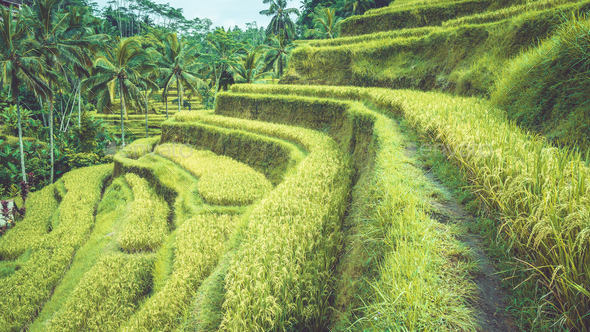 Tegalalang rice terrace fields with beautiful coconut palm trees growing on cascades, Ubud, Bali - Stock Photo - Images