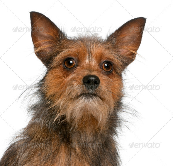 Close-up of Mixed-breed dog, 15 months old, in front of white background - Stock Photo - Images
