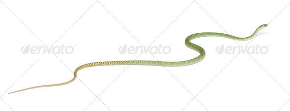 Western green mamba  - Dendroaspis viridis, poisonous, white background - Stock Photo - Images
