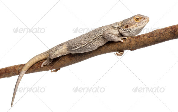 Pogona lying on a branch in front of white background - Stock Photo - Images