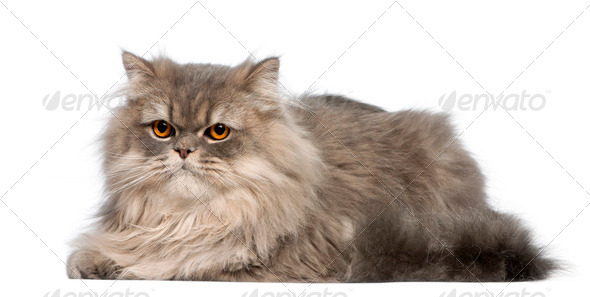 Grey cat lying in front of white background - Stock Photo - Images